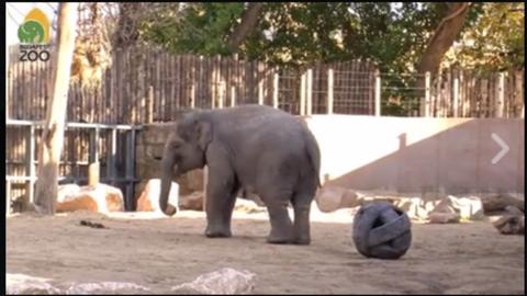 Ezt az elefántot látni kell, úgy rúgja a labdát, ahogy senki más – videó