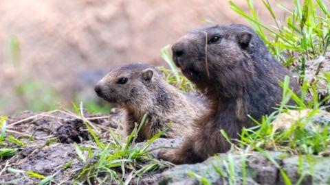 Cuki alpesi mormota született a Szegedi Vadasparkban