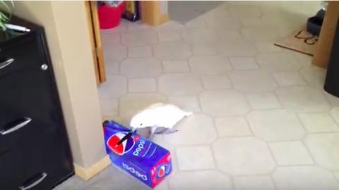 Ez a kakadu nem tud ellenállni az üdítőnek – vicces videó