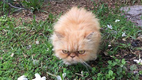 Az internet sztárja a morcos macska, aki annak se örül, hogy örökbe fogadták