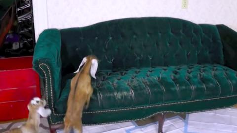 Őrületes cukiság: így tanulnak meg a kecskegidák felugrani a kanapéra