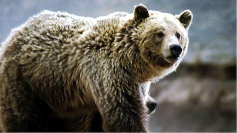 Megölte egy grizzly a hegyikerékpárost