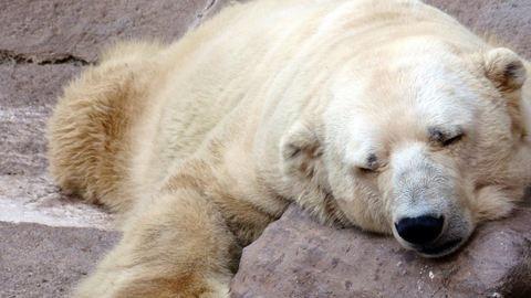Meghalt Arturo, a világ legszomorúbb jegesmedvéje