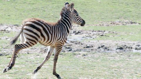 Bébibumm volt a Veszprémi Állatkert zebráinál – fotók