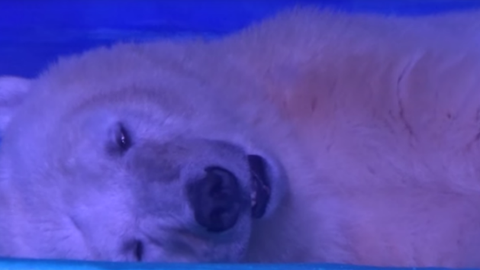 Bevásárlóközpontban raboskodik a világ legszomorúbb jegesmedvéje