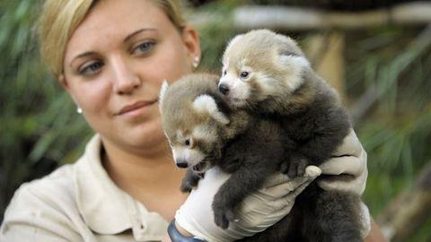 Nagyon cuki iker vörös pandák születettek Nyíregyházán