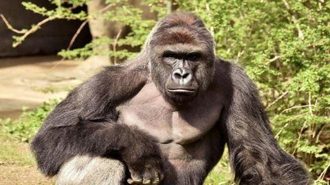 A Google meggyilkolt gorilláról nevezett el egy utcát