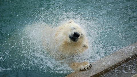 Így pancsol Zora, a jegesmedve Nyíregyházán – cuki fotók