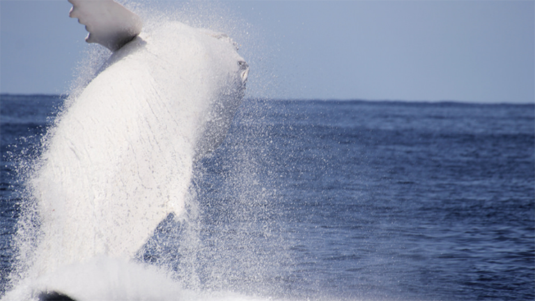 Újra látták a legendás fehér bálnát