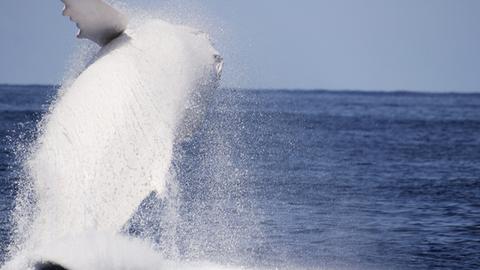 Lefotózták a legendás fehér bálnát