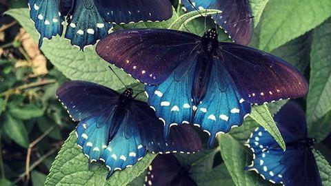 Kihalástól mentette meg a pillangókat
