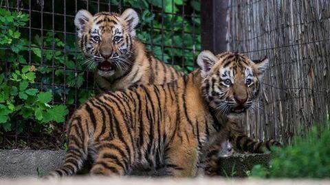 Cukiságriadó! Kifutón a kis tigrisek