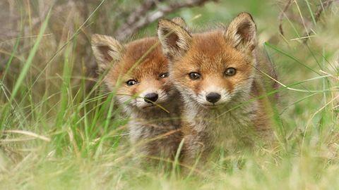 Elviselhetetlenül tüneményesek ezek a rókák – cuki fotók