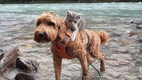 Együtt járja az erdőt a kutya és a hátán lovagló kiscica – cuki fotók