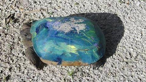 """Színesre festik a teknősöket a """"sokeszű"""" floridaiak"""