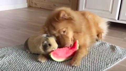 Cuki videó: görögdinnyén osztozik a tengerimalac és a kutya