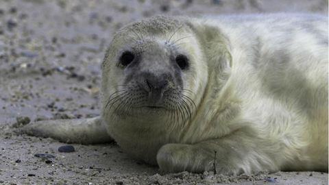 Vad fókák veszélyeztetik a strandolókat Nagy-Britanniában