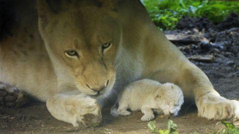 Fehér oroszlán született a Nyíregyházi Állatparkban – fotó