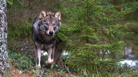 Farkas kóborol Aggteleken – videó
