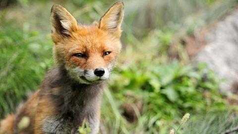 Ne csodálkozz, ha rókával futsz össze Budán!