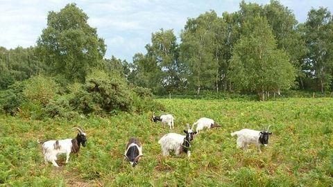 Egy gazdátlan kecske sétálgat Tatabányán – fotó