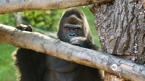 Így kukkol a Nyíregyházi Állatpark gorillája