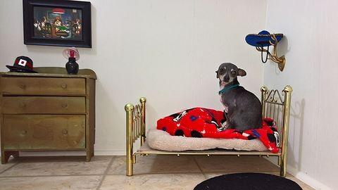 Saját szobát épített csivavájának – fotók