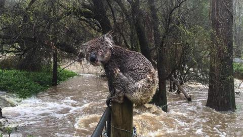 Ennek a koalának biztosan rosszabb napja van, mint neked – vicces fotó