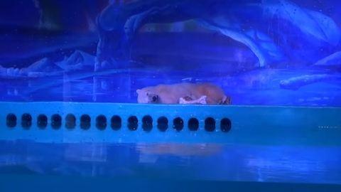 Szebb élet vár a világ legszomorúbb jegesmedvéjére