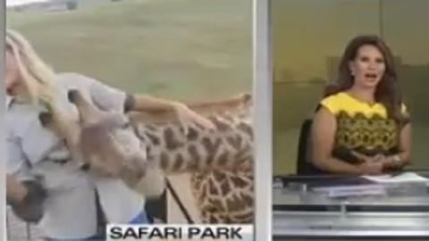 Élő adásban mászott rá a riporterre a rámenős zsiráf – videó