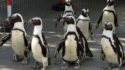 Állatvédők állatkertből loptak el egy pápaszemes pingvint