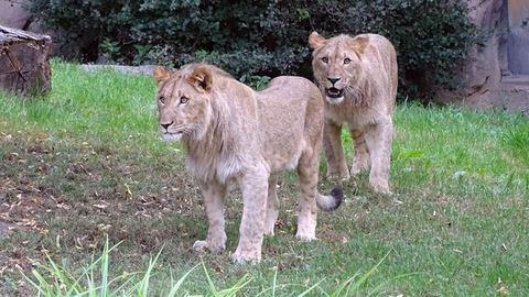 Elszabadult két oroszlán Lipcsében