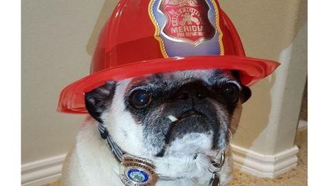Kitüntették a hős mopszot, mert megmentette családját a tűztől