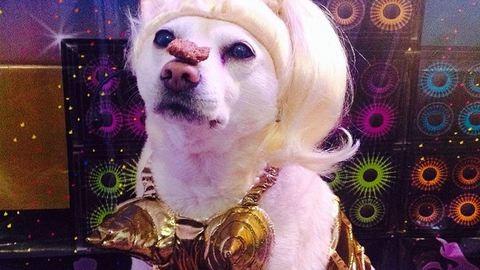 A Madonnának öltözött kutyánál nem látsz jobbat idén halloweenkor