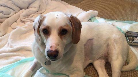 Megható: akupunktúrával gyógyult meg a lebénult kutyus