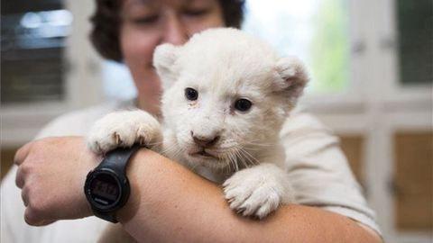 Óriási barna medvére támadt a cuki kis fehér oroszlán