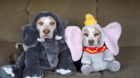 Nézd meg, ahogy a világ legtürelmesebb kutyái az összes létező halloweeni jelmezt felpróbálják! – videó