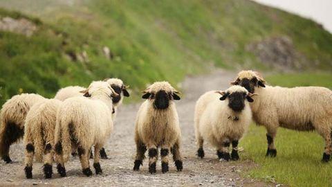 Nem tudja eldönteni a net, hogy cukik vagy ijesztőek ezek a bárányok