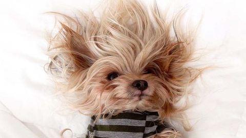 Ez a kutyus a világ legcukibb frizuramodellje – fotók
