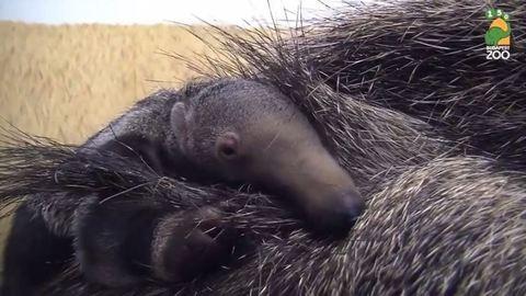 Anyja hátán alszik a cuki hangyászkölyök – videó