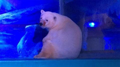 Szabadságra ment a világ legszomorúbb jegesmedvéje
