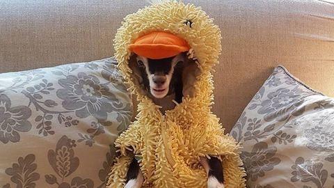 Csak a kacsajelmez nyugtatja meg a szorongós kecskét – cuki fotók