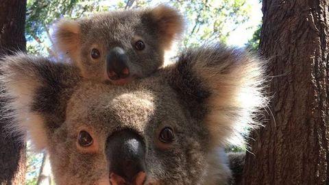 Napi cuki: a koalamama és csemetéje pont olyanok, mintha plüssből lennének