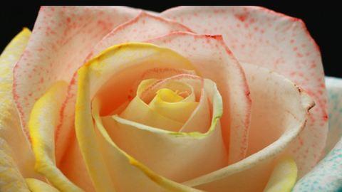 Varázslatos, szivárványos rózsaszirom, aminek most te is megtudhatod a titkát!