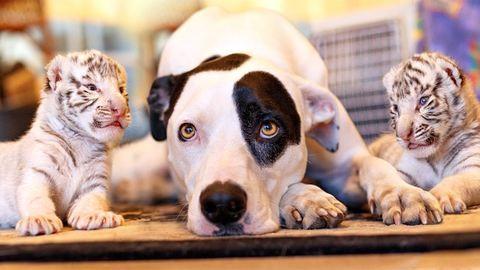Kutya neveli az elhagyott tigriskölyköket - cuki videó