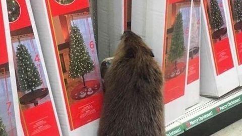Hód okozott felfordulást a karácsonyi bevásárláson – fotó