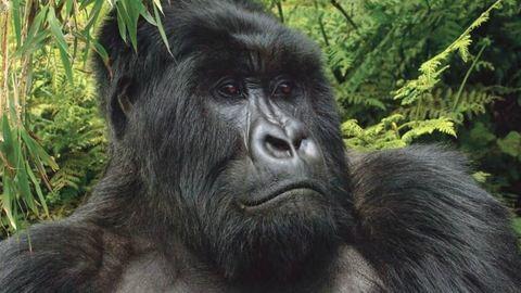 Biopsziás műtéten esett át a világ legöregebb gorillája