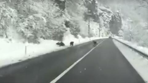 Medvecsaládot kerülgettek az autósok az országúton