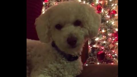 Csak a karácsonyi dalra szenderül álomba a kiskutya – cuki videó