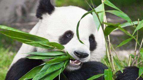 Elpusztult a bécsi állatkert pandája
